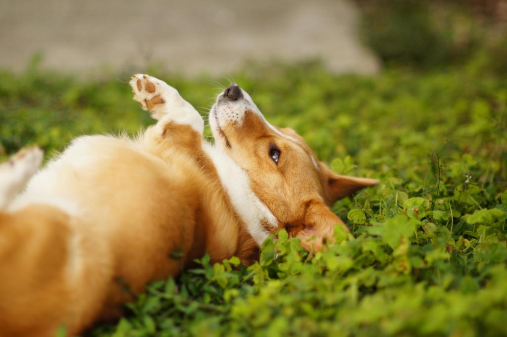 【まとめ】ペット保険は必要?足腰が弱いコーギーにおすすめのペット保険を紹介します!